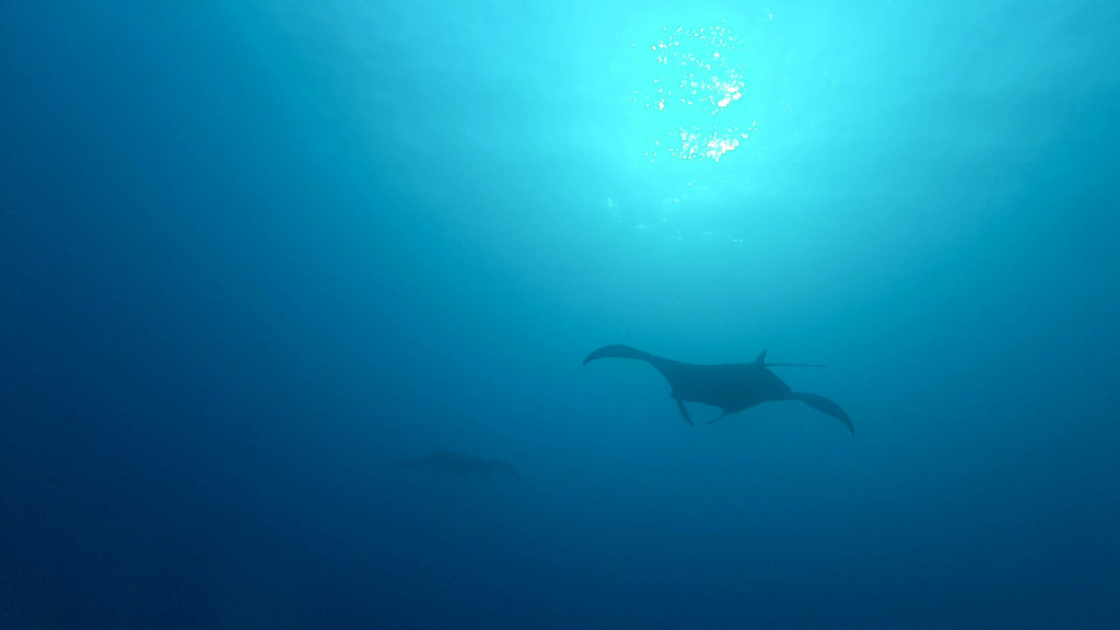 Fins to spurs, divemaster on night manta ray dives, Kona, Hawaii, manta shadowi