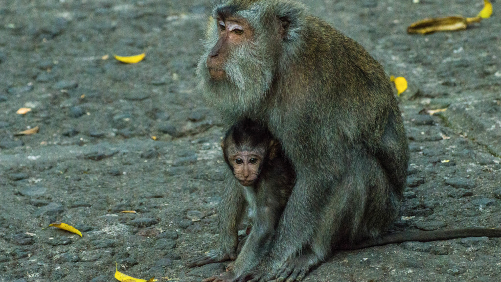 Fins to Spurs, Ubud, Bali, Monkey Forest, Mom and Baby