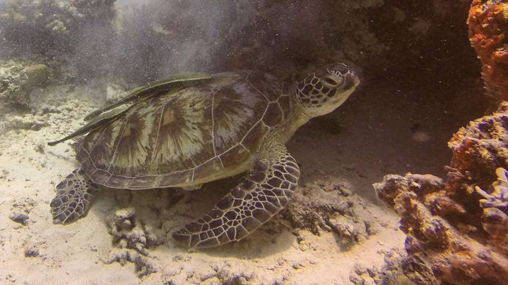 Fins-to-Spurs-Build-Reefs-Borneo-Pom-Pom-Island-Turtle