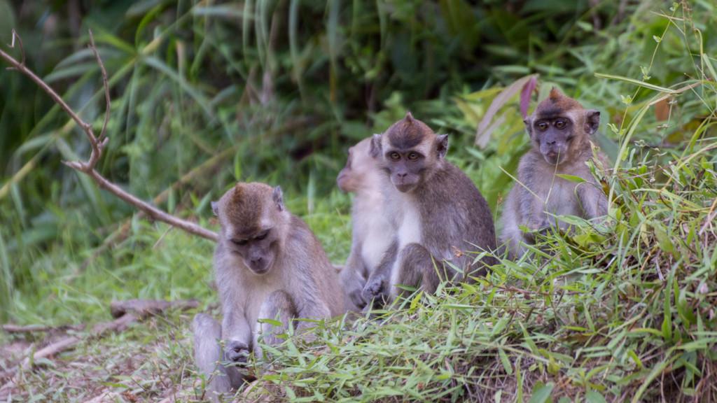 Monkey, Borneo, Malaysia, Fins to Spurs, Go to Borneo