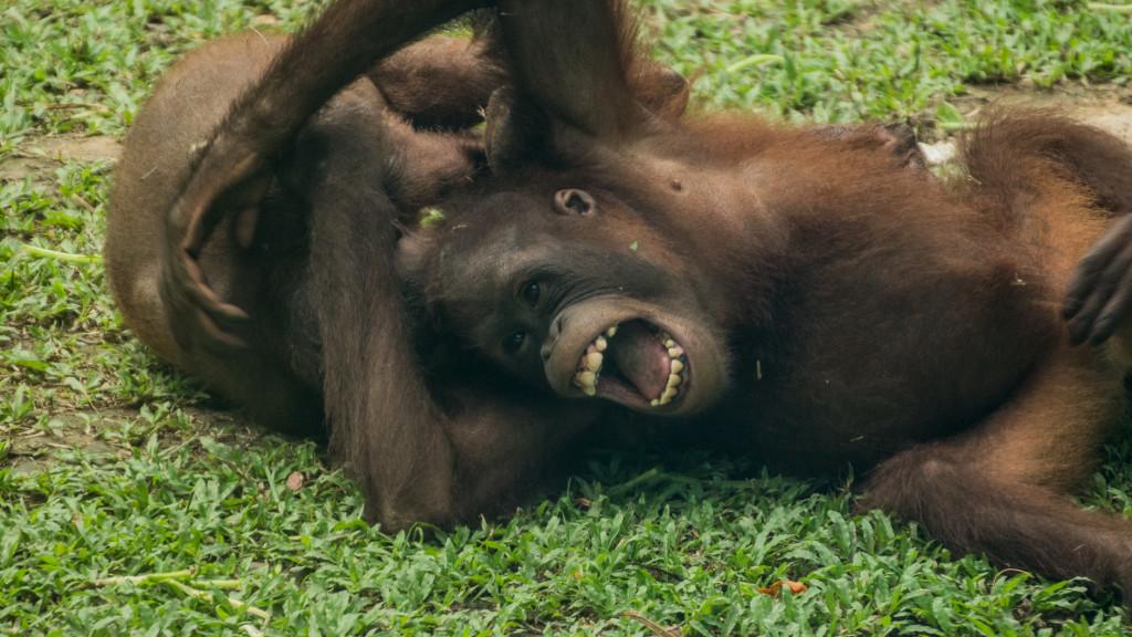 Orangutan, Borneo, Malaysia, Fins to Spurs, Go to Borneo