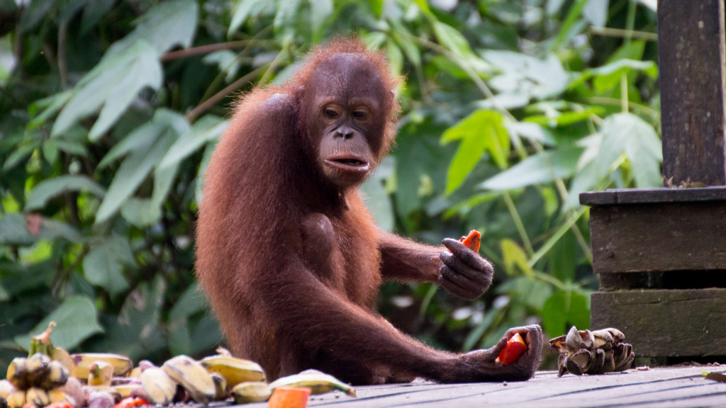 Orangutan, Papaya, Banana, Borneo, Malaysia, Fins to Spurs, Go to Borneo