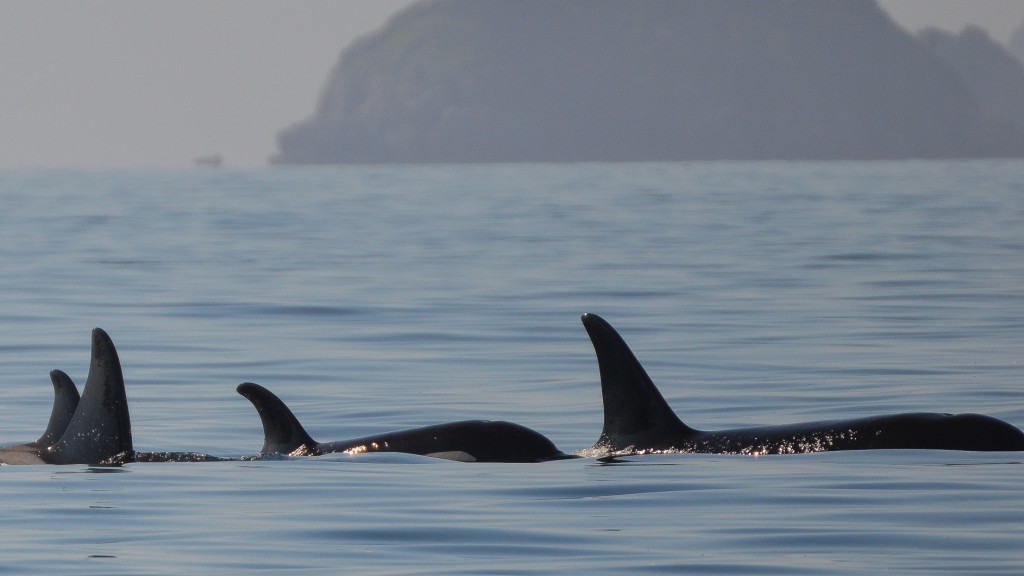 Orca, Whales, Work in Alaska, 11 Jobs that Pay You to Travel, Fins to Spurs, Kenai Fjords