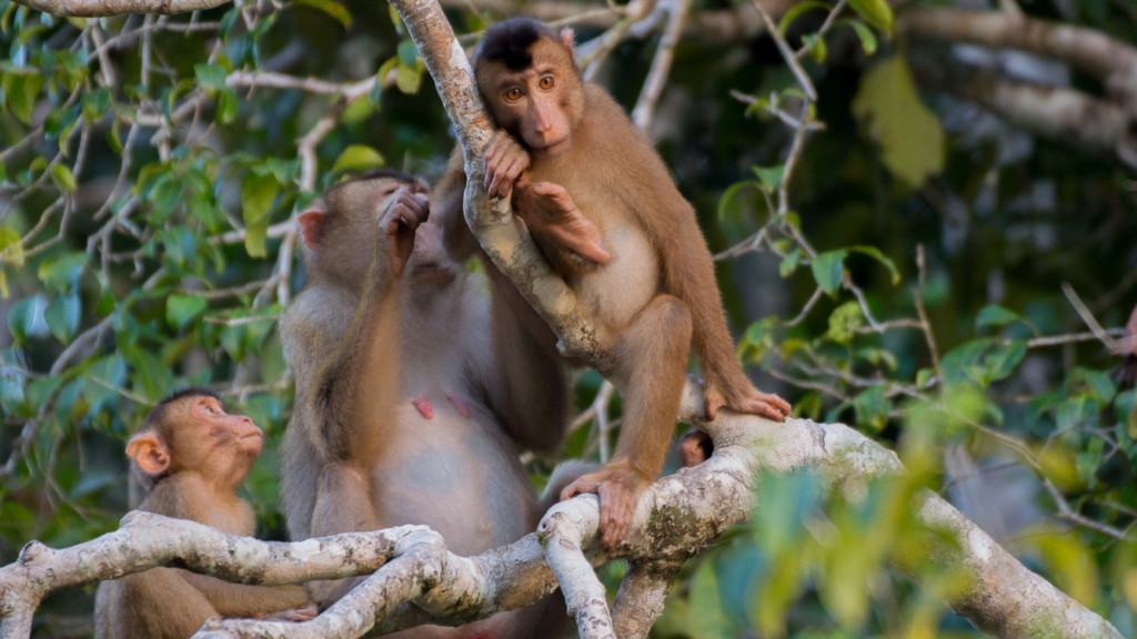 Proboscis, Monkey, Borneo, Malaysia, Fins to Spurs, Go to Borneo
