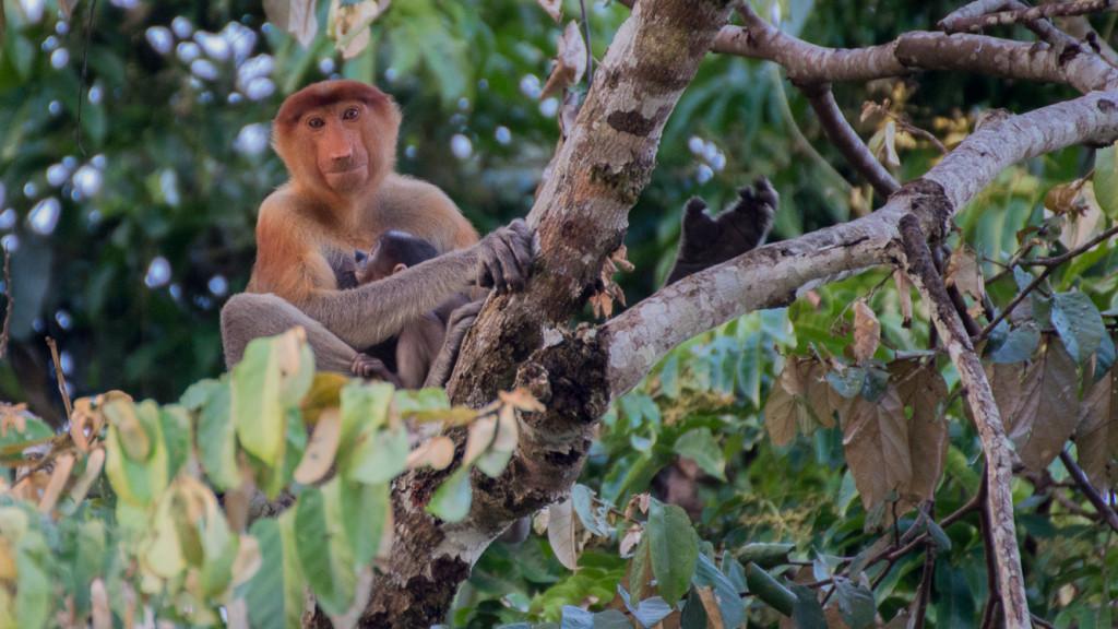 Proboscis monkey, Baby, Borneo, Malaysia, Fins to Spurs, Go to Borneo, Asia